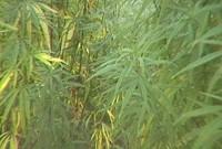 0801marijuana