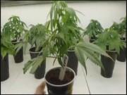 Marijuana Rules, Finally00000002