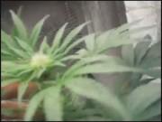 Marijuana Confusion00000004